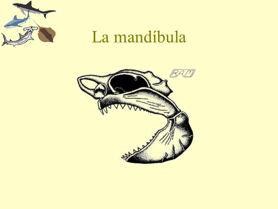 La mandíbula