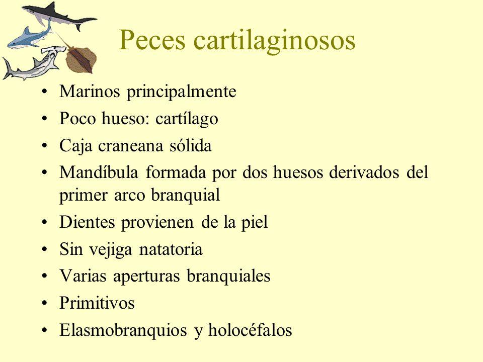 Peces cartilaginosos Marinos principalmente Poco hueso: cartílago