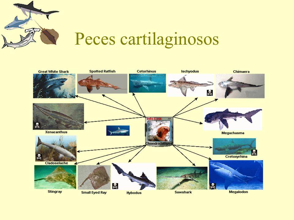 Peces cartilaginosos