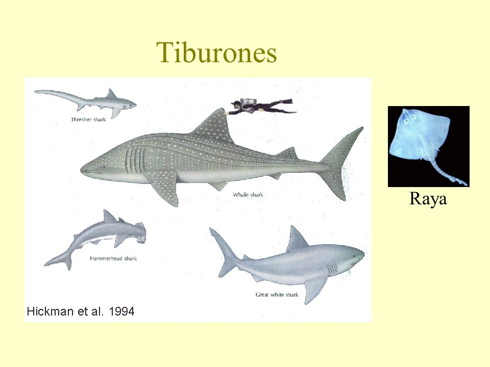 Tiburones Raya