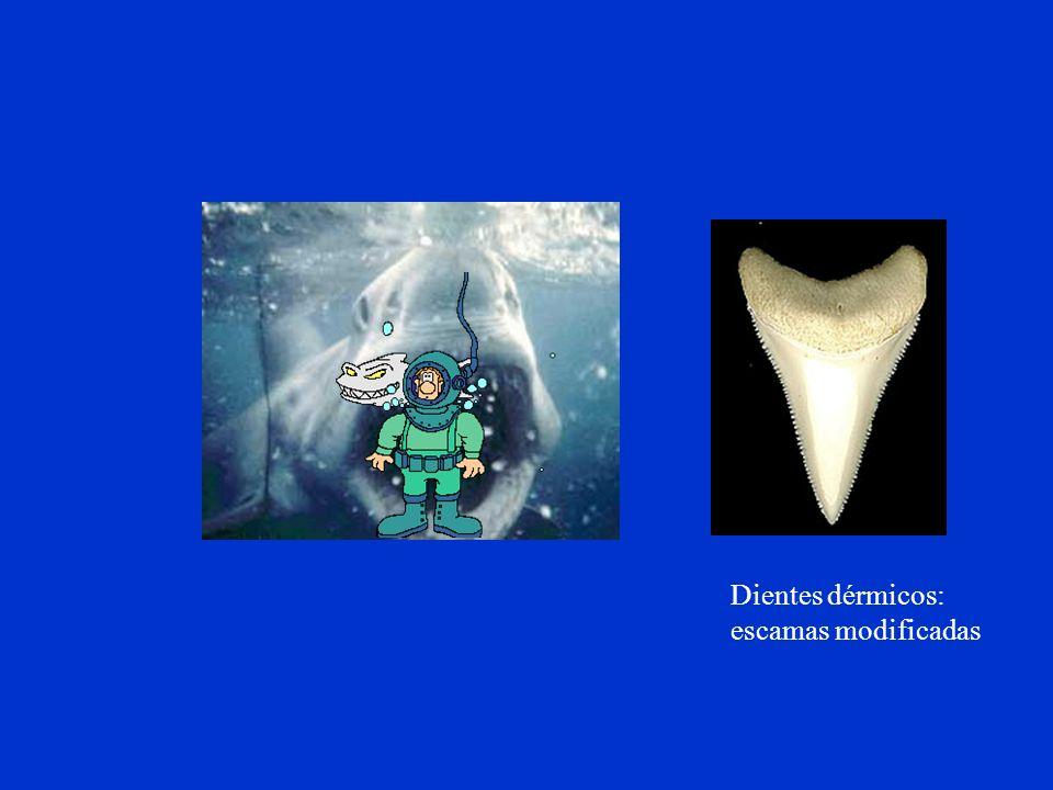 Dientes dérmicos: escamas modificadas