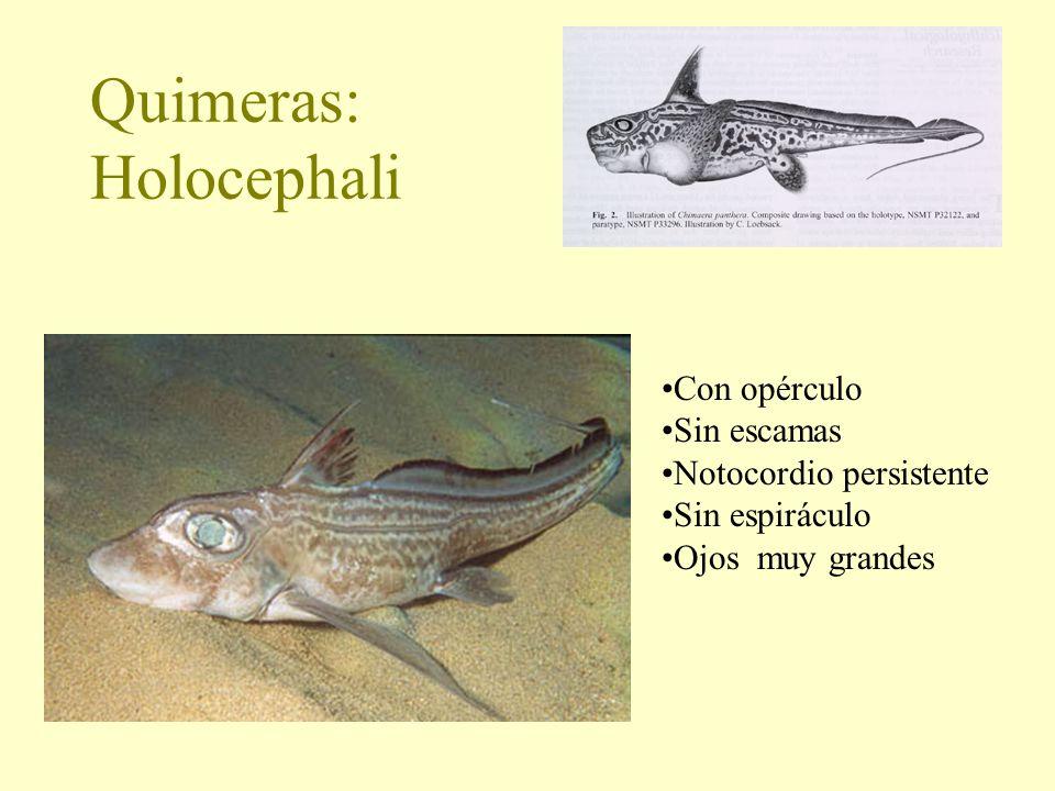 Quimeras: Holocephali