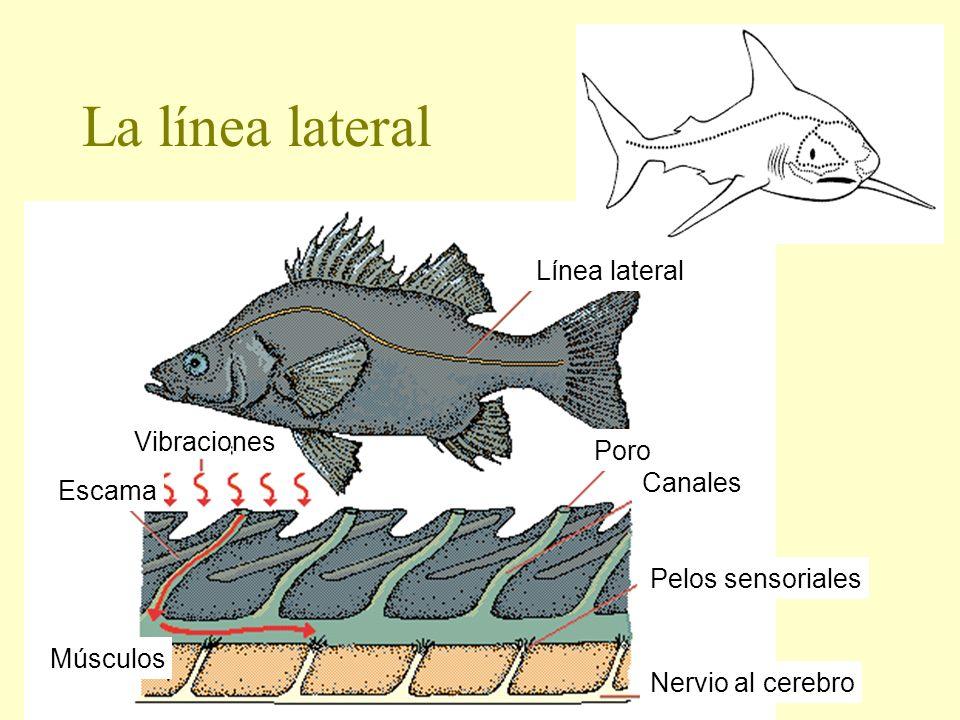 La línea lateral Línea lateral Vibraciones Poro Canales Escama