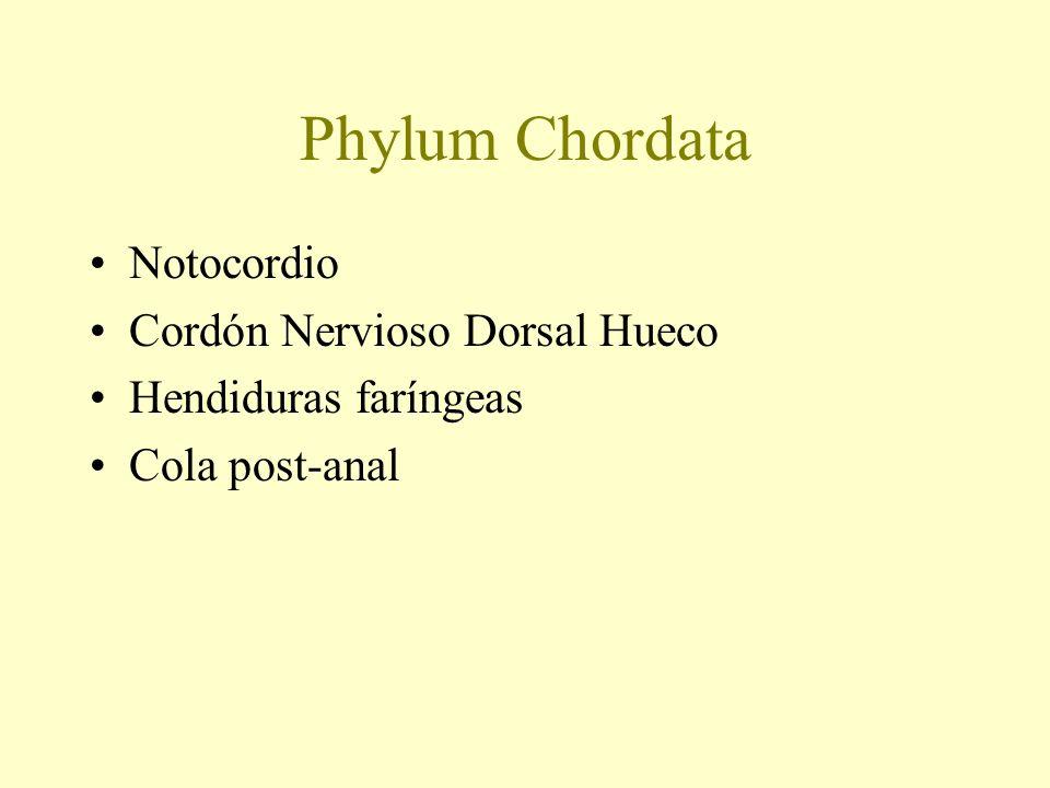 Phylum Chordata Notocordio Cordón Nervioso Dorsal Hueco