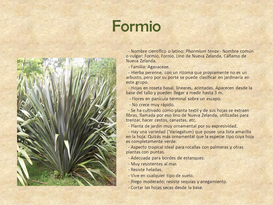 Formio - Nombre científico o latino: Phormium tenax - Nombre común o vulgar: Formio, Fornio, Lino de Nueva Zelanda, Cáñamo de Nueva Zelanda.