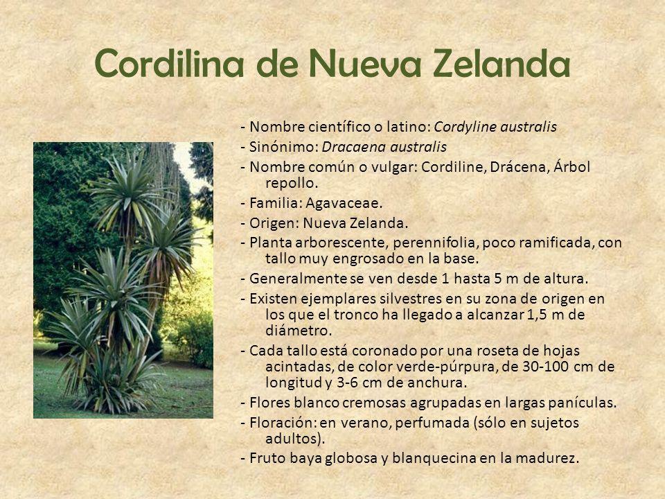 Cordilina de Nueva Zelanda