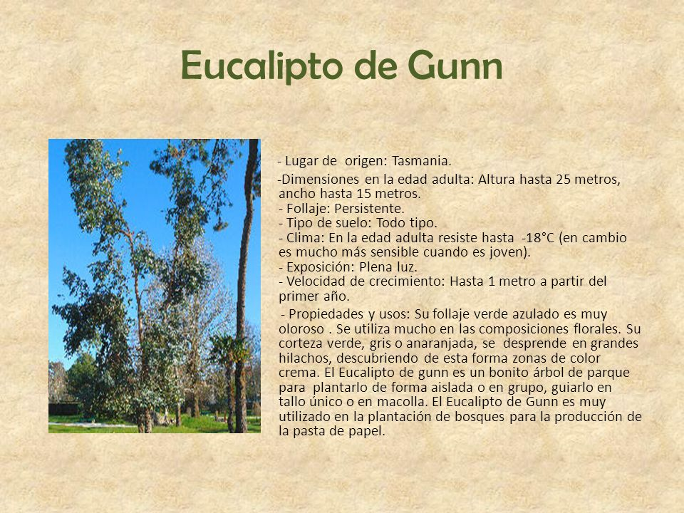 Eucalipto de Gunn