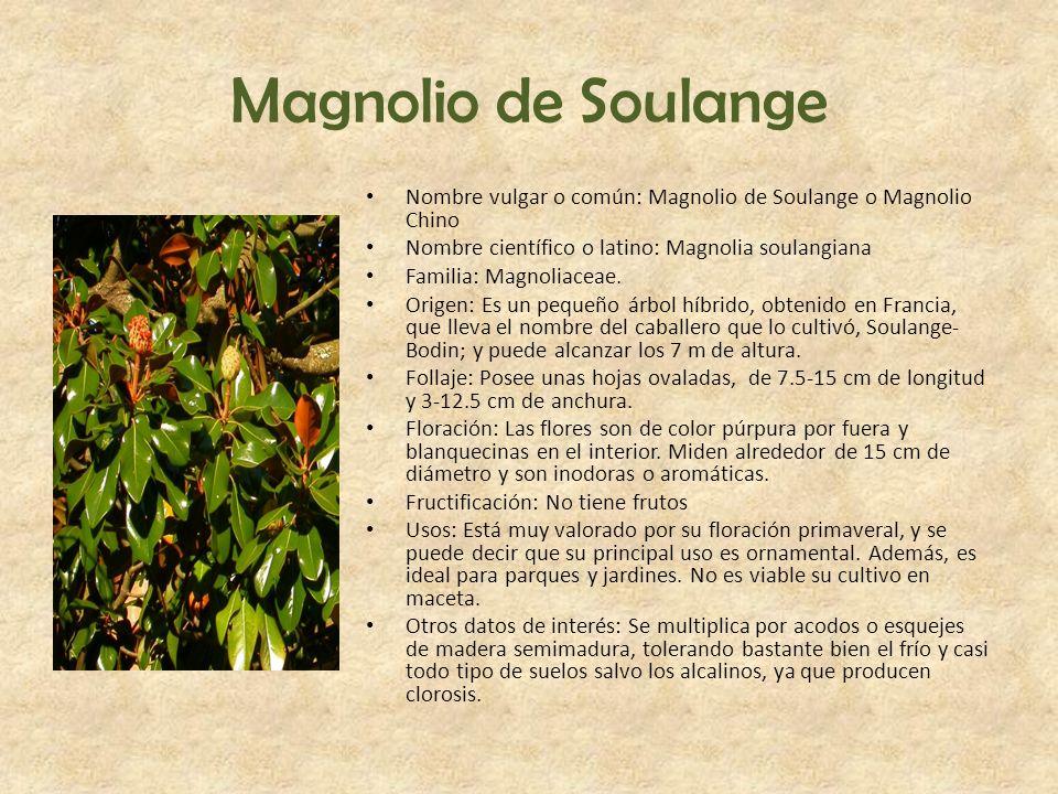 Magnolio de Soulange Nombre vulgar o común: Magnolio de Soulange o Magnolio Chino. Nombre científico o latino: Magnolia soulangiana.
