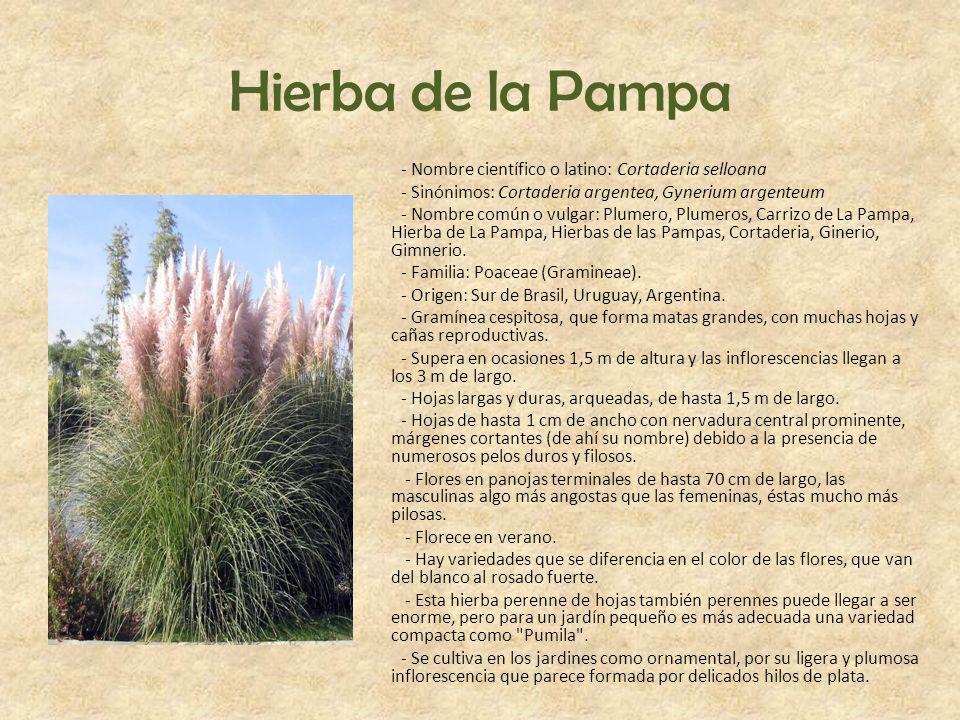 Hierba de la Pampa