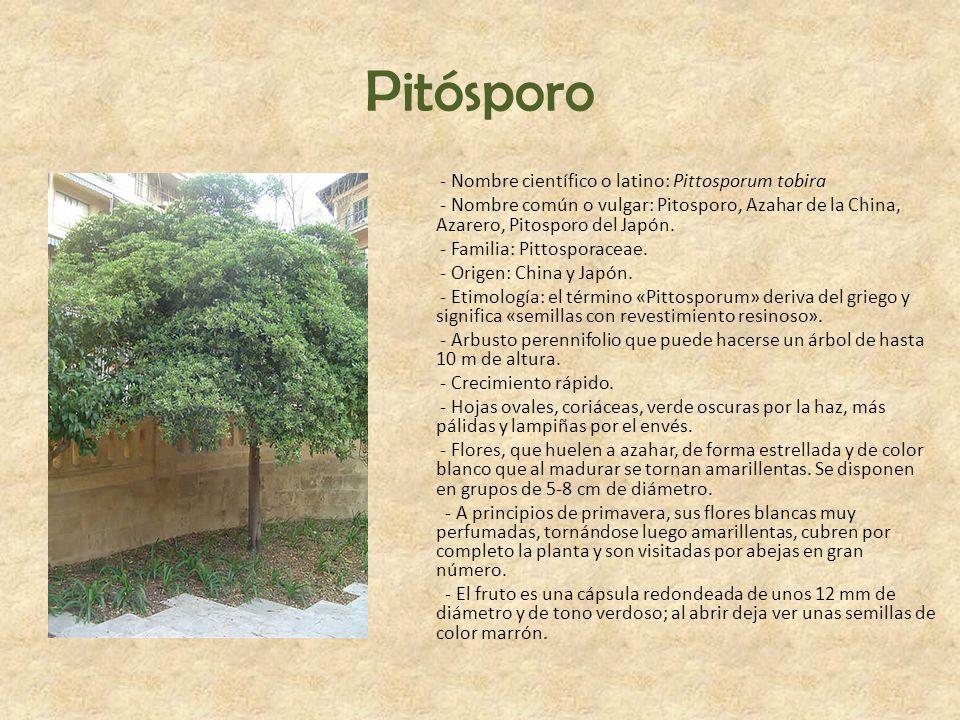 Pitósporo