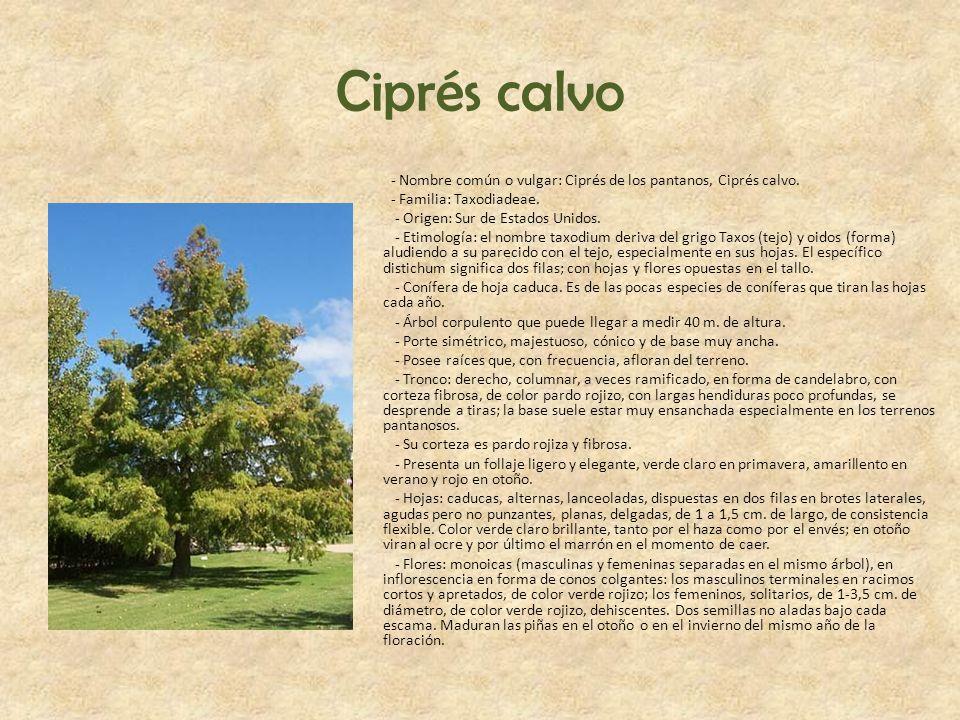 Ciprés calvo