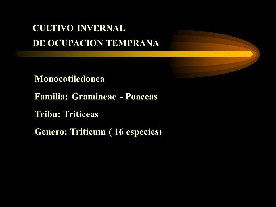 Familia: Gramineae - Poaceas Tribu: Triticeas