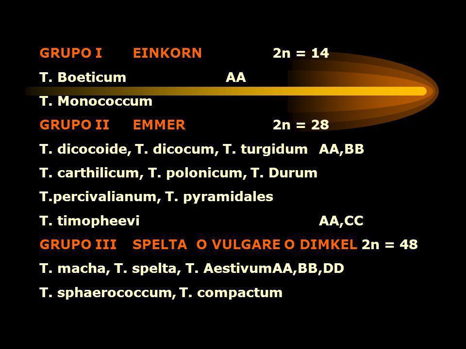 GRUPO I EINKORN 2n = 14 T. Boeticum AA. T. Monococcum. GRUPO II EMMER 2n = 28. T. dicocoide, T. dicocum, T. turgidum AA,BB.