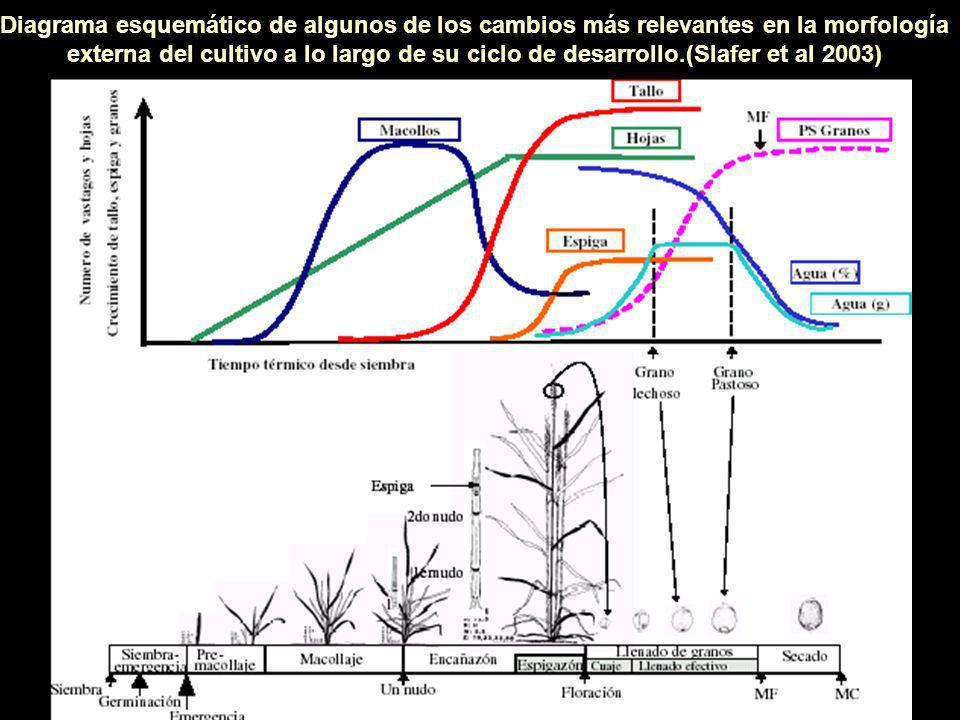 Diagrama esquemático de algunos de los cambios más relevantes en la morfología externa del cultivo a lo largo de su ciclo de desarrollo.(Slafer et al 2003)