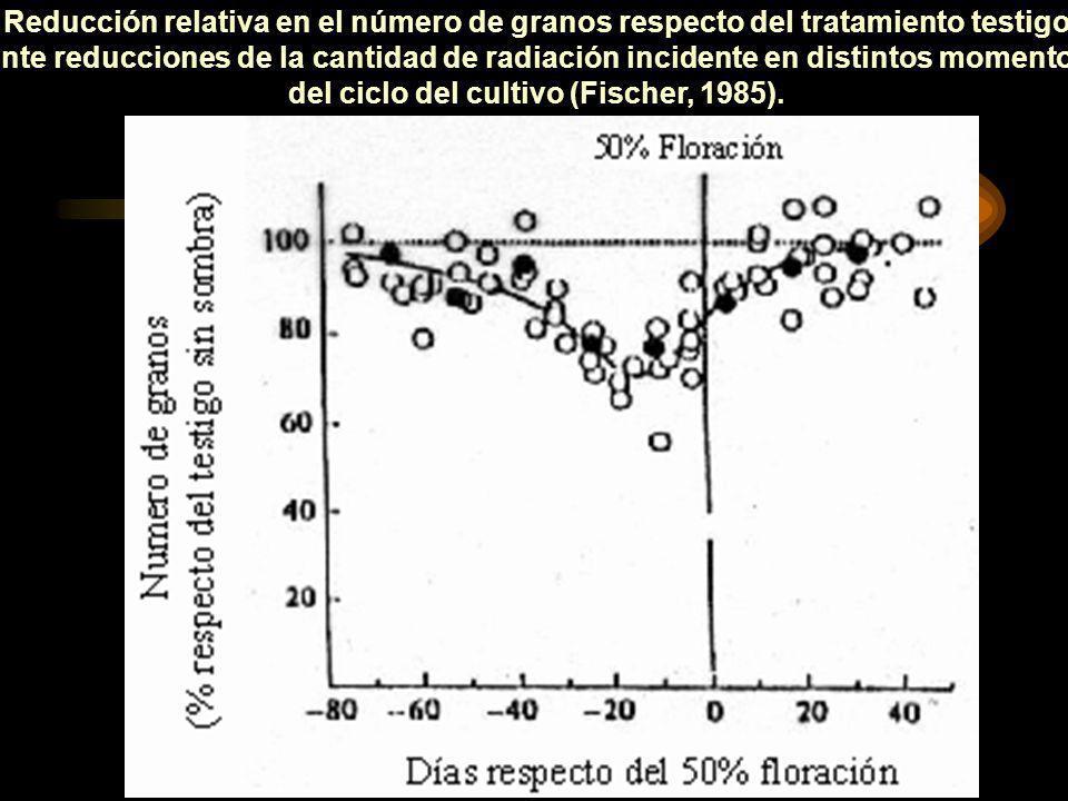 Reducción relativa en el número de granos respecto del tratamiento testigo ante reducciones de la cantidad de radiación incidente en distintos momentos del ciclo del cultivo (Fischer, 1985).