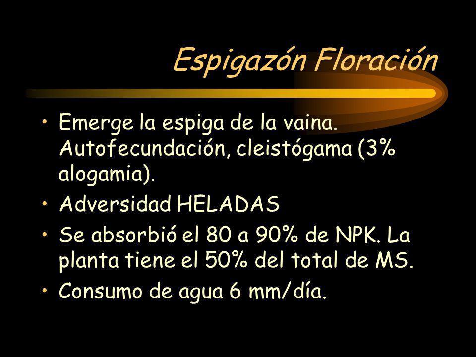 Espigazón Floración Emerge la espiga de la vaina. Autofecundación, cleistógama (3% alogamia). Adversidad HELADAS.