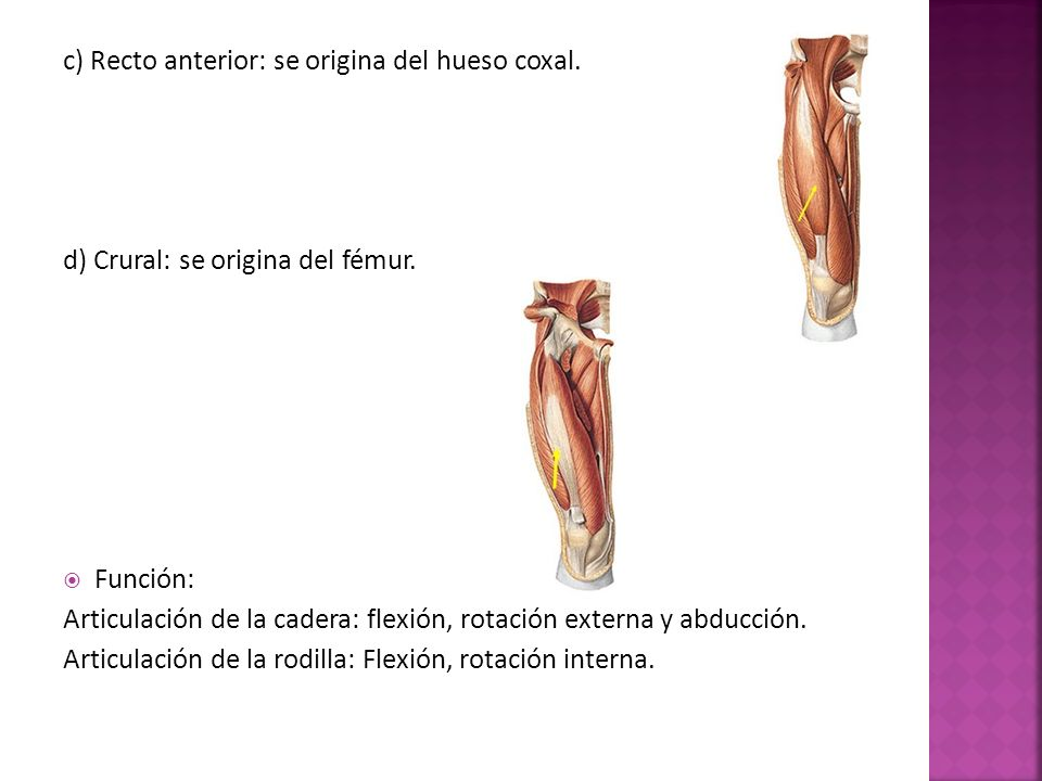 c) Recto anterior: se origina del hueso coxal.