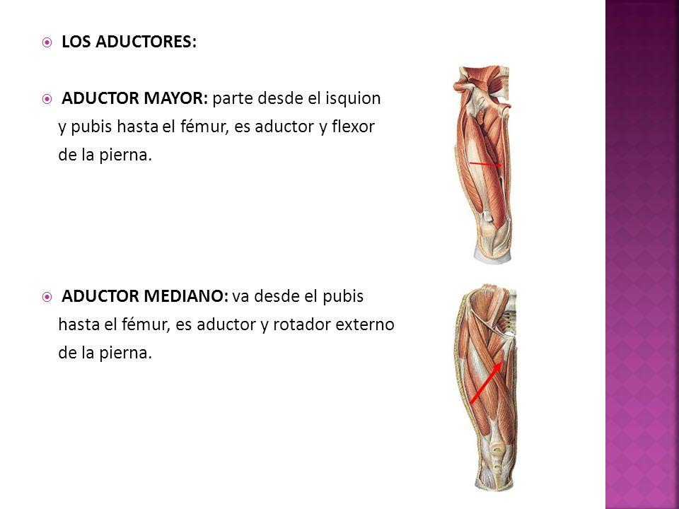 LOS ADUCTORES: ADUCTOR MAYOR: parte desde el isquion. y pubis hasta el fémur, es aductor y flexor.