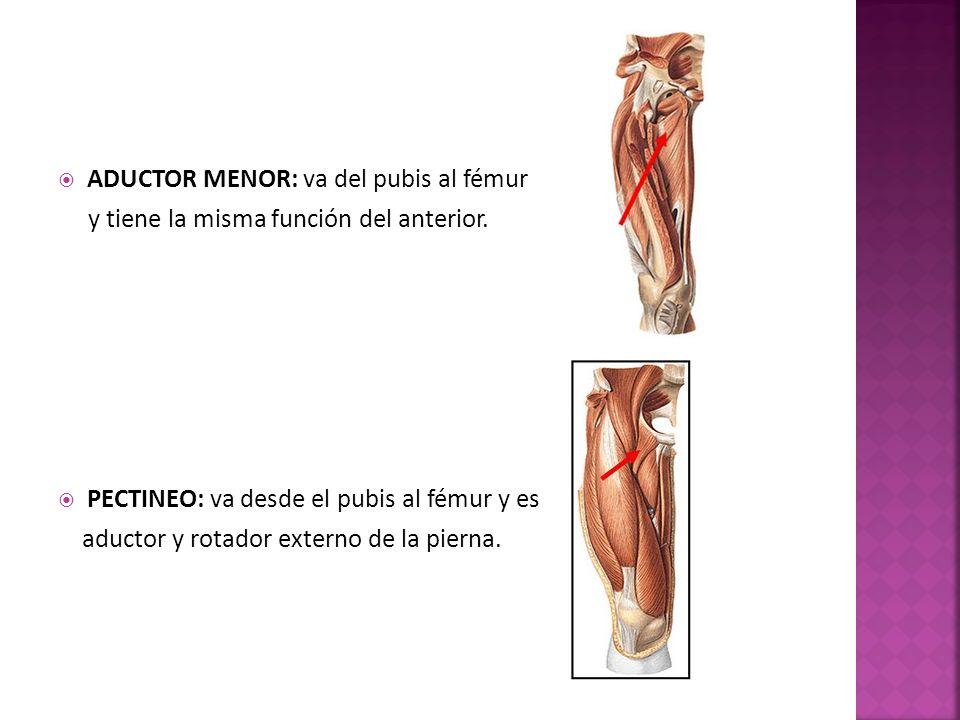 ADUCTOR MENOR: va del pubis al fémur