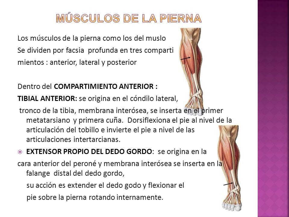 Músculos de la pierna Los músculos de la pierna como los del muslo