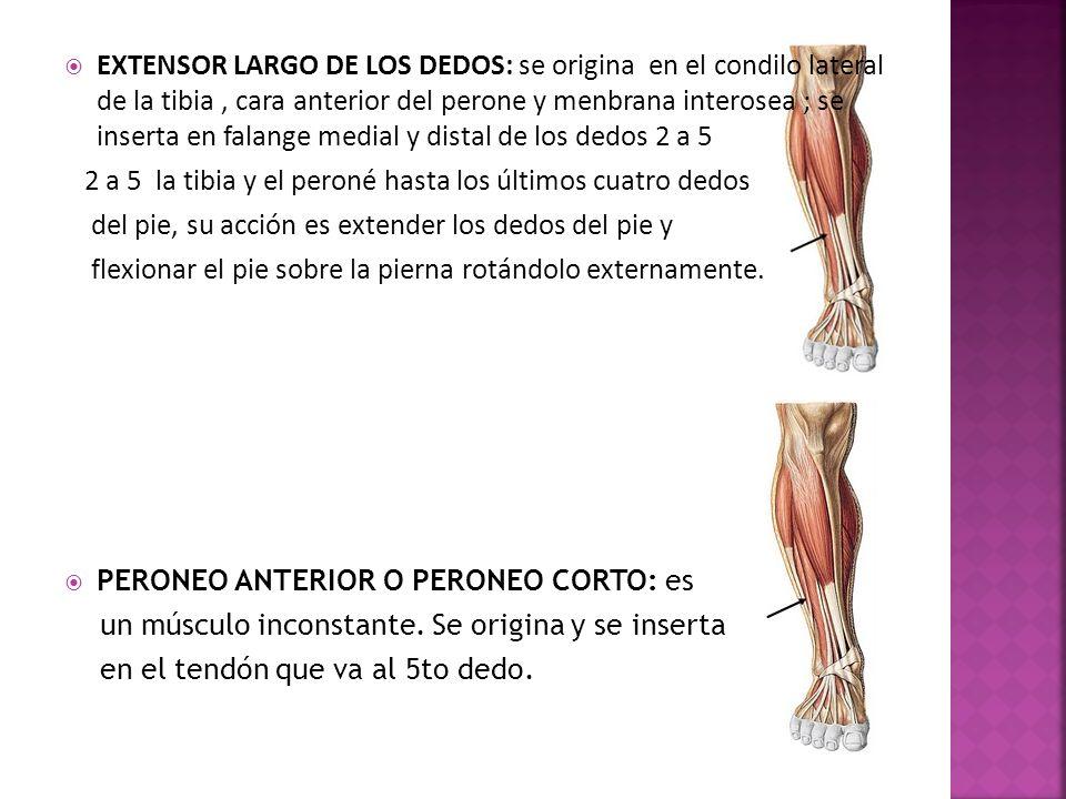 EXTENSOR LARGO DE LOS DEDOS: se origina en el condilo lateral de la tibia , cara anterior del perone y menbrana interosea ; se inserta en falange medial y distal de los dedos 2 a 5