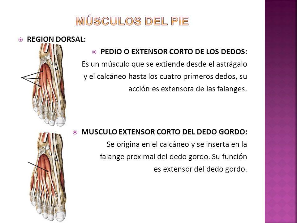 Músculos del pie REGION DORSAL: PEDIO O EXTENSOR CORTO DE LOS DEDOS: