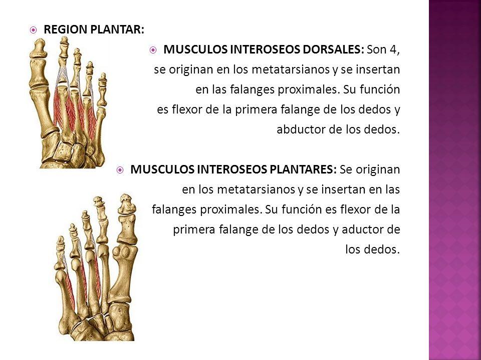 REGION PLANTAR: MUSCULOS INTEROSEOS DORSALES: Son 4, se originan en los metatarsianos y se insertan.