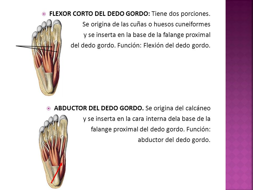 FLEXOR CORTO DEL DEDO GORDO: Tiene dos porciones.