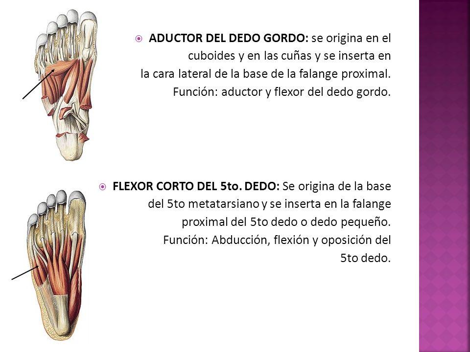 ADUCTOR DEL DEDO GORDO: se origina en el
