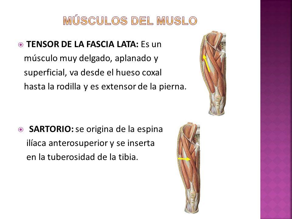 Músculos del muslo TENSOR DE LA FASCIA LATA: Es un
