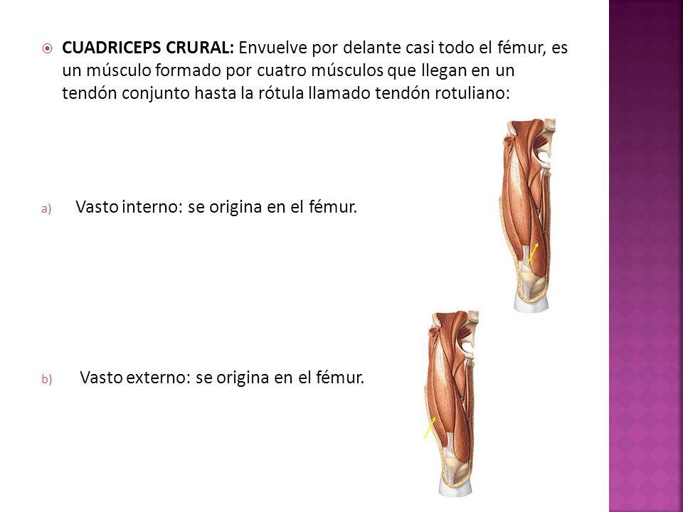 CUADRICEPS CRURAL: Envuelve por delante casi todo el fémur, es un músculo formado por cuatro músculos que llegan en un tendón conjunto hasta la rótula llamado tendón rotuliano: