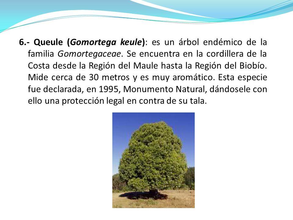 6.- Queule (Gomortega keule): es un árbol endémico de la familia Gomortegaceae.