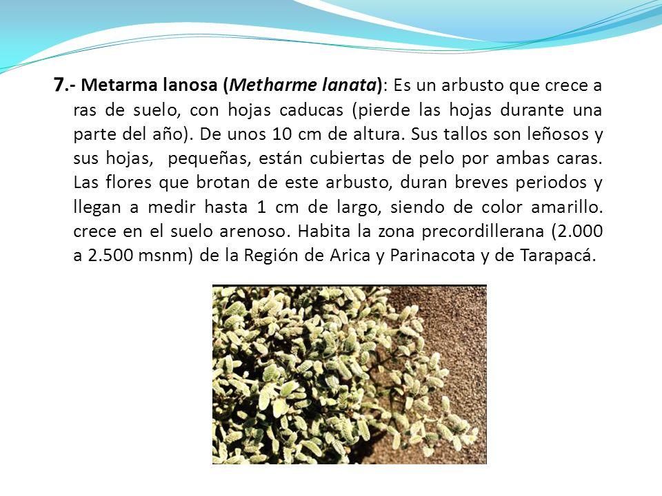 7.- Metarma lanosa (Metharme lanata): Es un arbusto que crece a ras de suelo, con hojas caducas (pierde las hojas durante una parte del año).