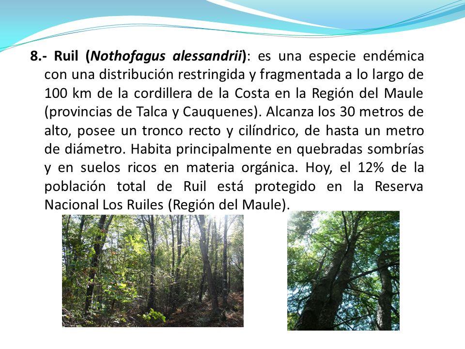 8.- Ruil (Nothofagus alessandrii): es una especie endémica con una distribución restringida y fragmentada a lo largo de 100 km de la cordillera de la Costa en la Región del Maule (provincias de Talca y Cauquenes).