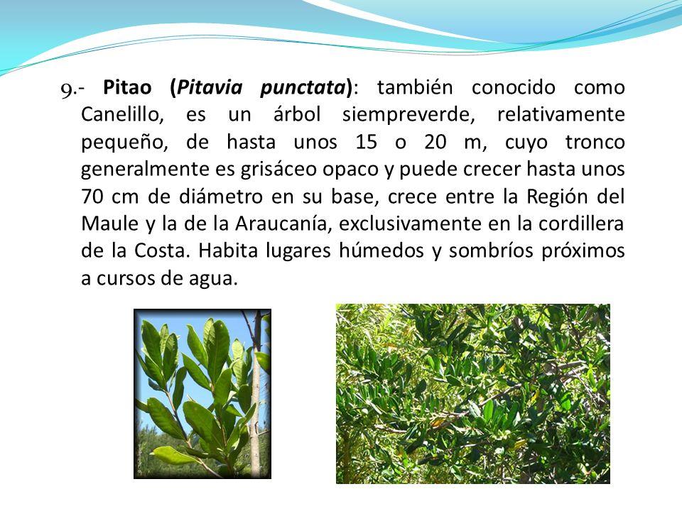 9.- Pitao (Pitavia punctata): también conocido como Canelillo, es un árbol siempreverde, relativamente pequeño, de hasta unos 15 o 20 m, cuyo tronco generalmente es grisáceo opaco y puede crecer hasta unos 70 cm de diámetro en su base, crece entre la Región del Maule y la de la Araucanía, exclusivamente en la cordillera de la Costa.