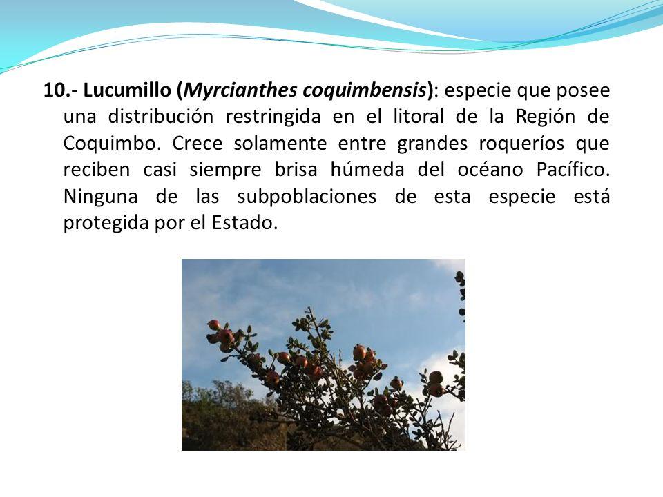 10.- Lucumillo (Myrcianthes coquimbensis): especie que posee una distribución restringida en el litoral de la Región de Coquimbo.