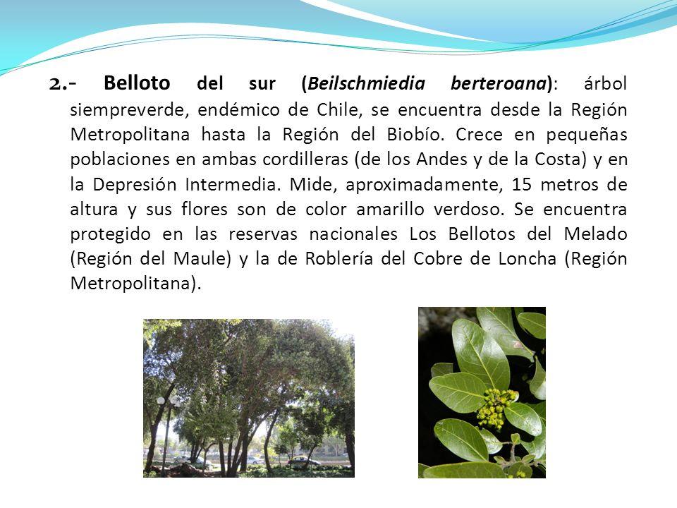 2.- Belloto del sur (Beilschmiedia berteroana): árbol siempreverde, endémico de Chile, se encuentra desde la Región Metropolitana hasta la Región del Biobío.