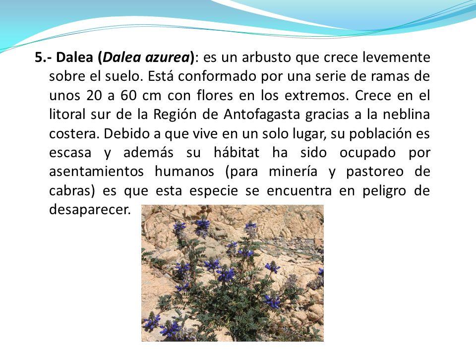 5.- Dalea (Dalea azurea): es un arbusto que crece levemente sobre el suelo.