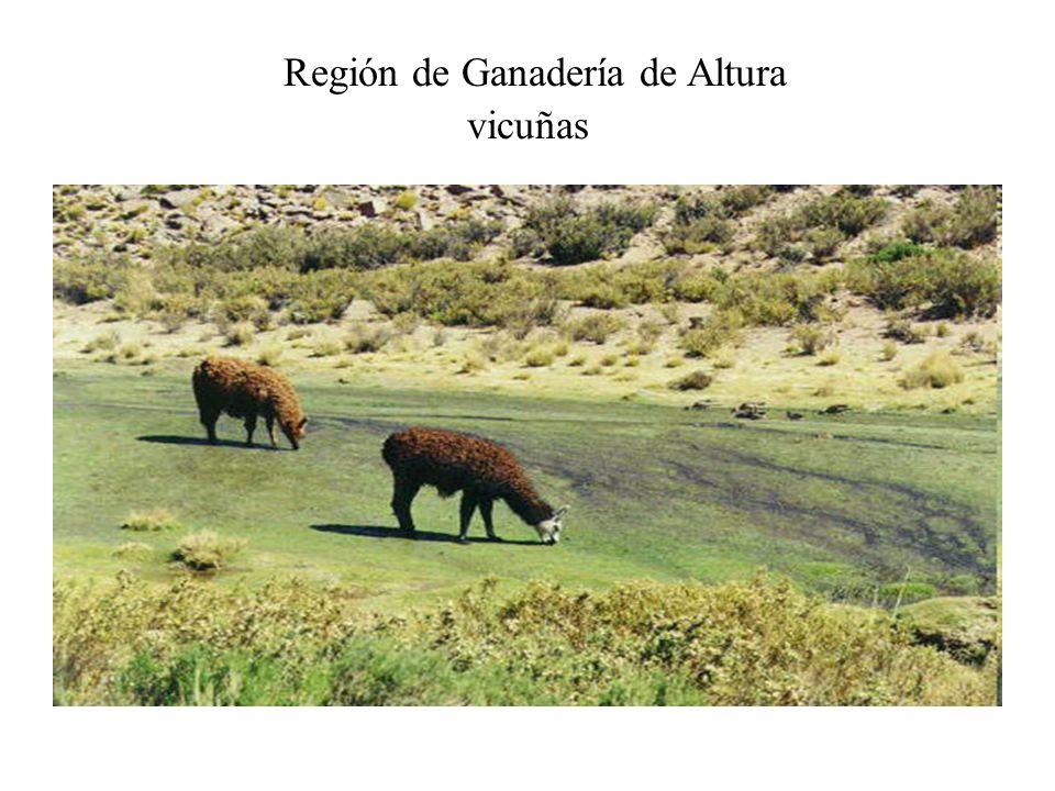 Región de Ganadería de Altura vicuñas