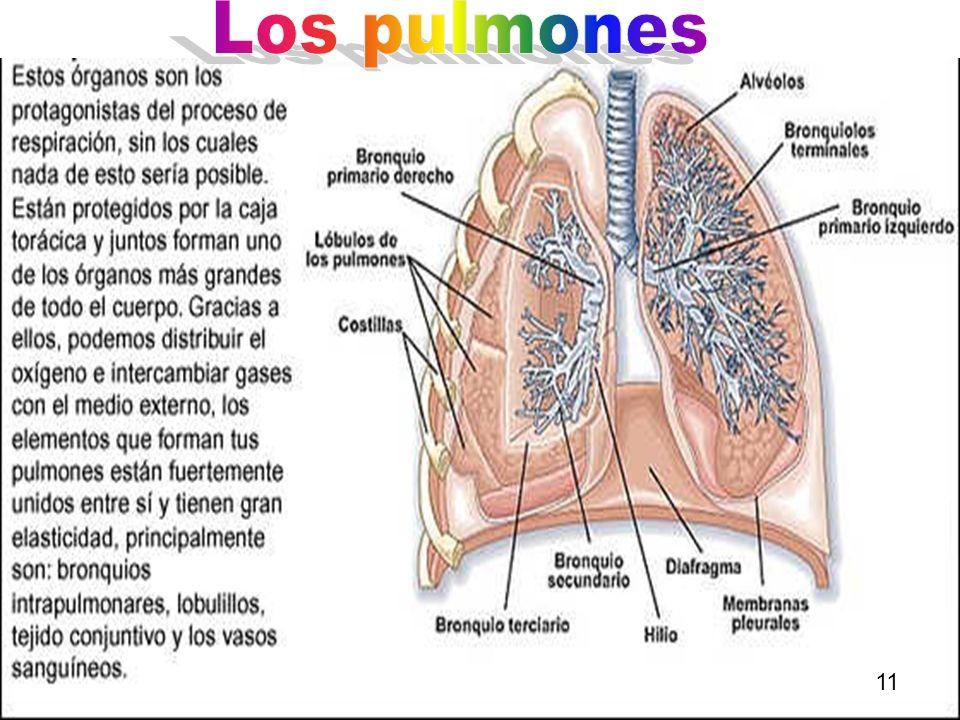 Los pulmones 11