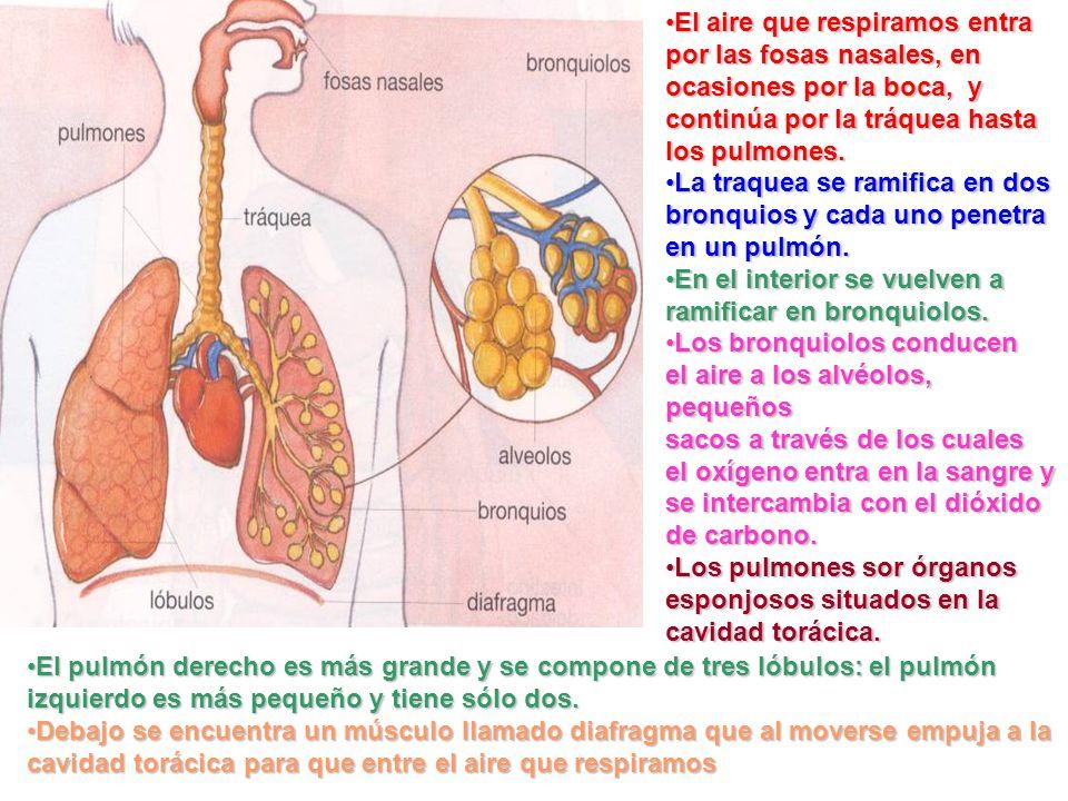 El aire que respiramos entra por las fosas nasales, en ocasiones por la boca, y continúa por la tráquea hasta los pulmones.