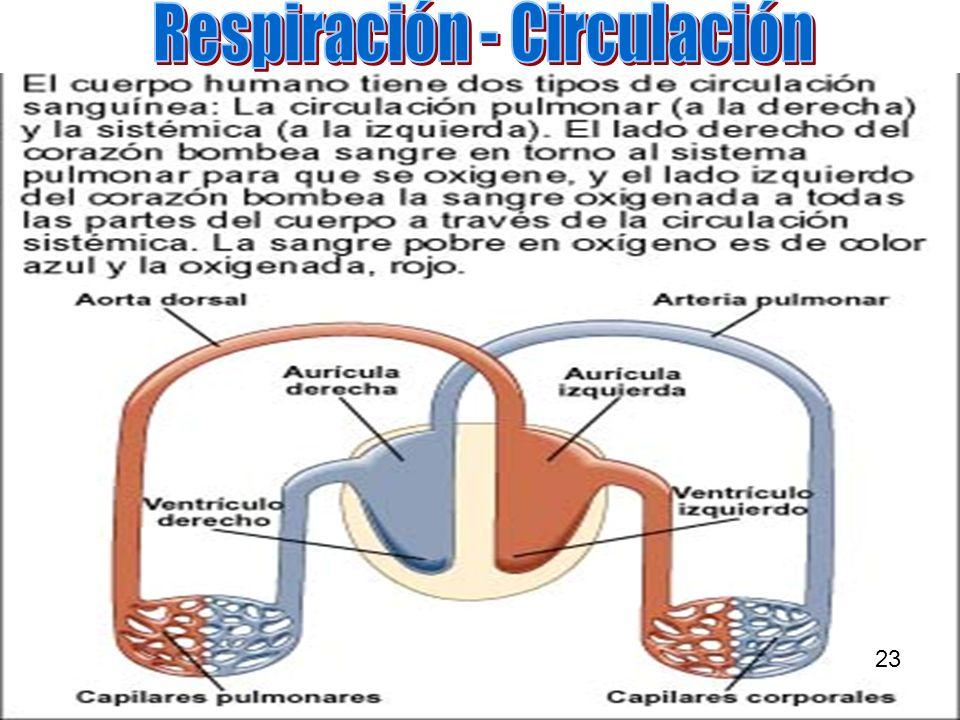 Respiración - Circulación