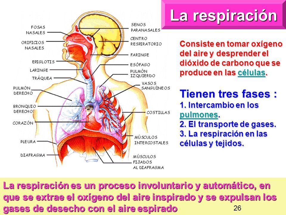 La respiración Consiste en tomar oxígeno del aire y desprender el dióxido de carbono que se produce en las células.