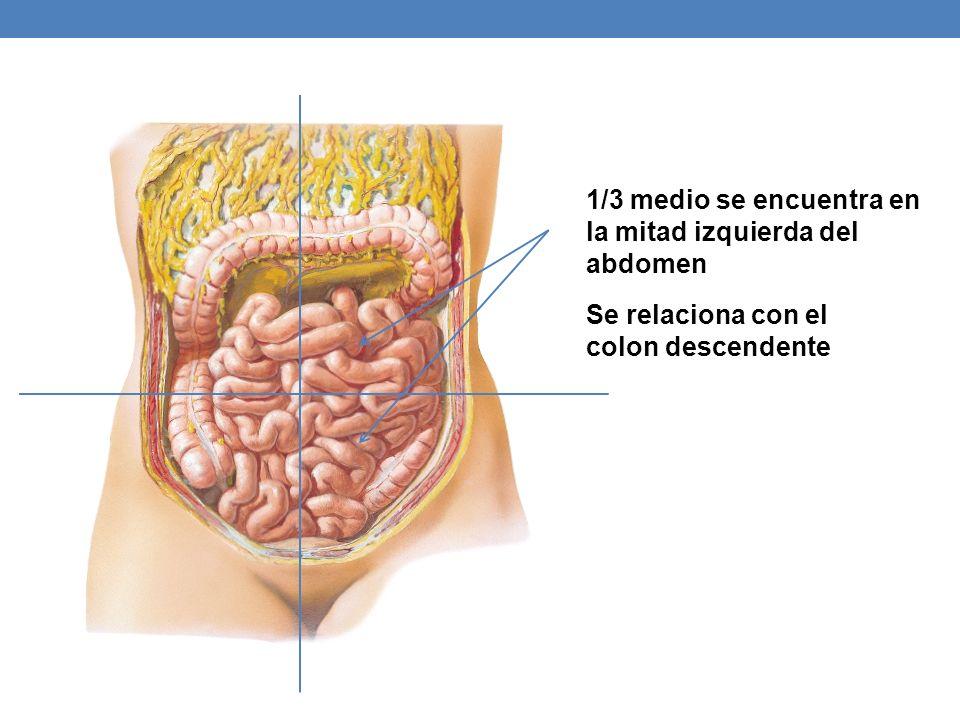 1/3 medio se encuentra en la mitad izquierda del abdomen