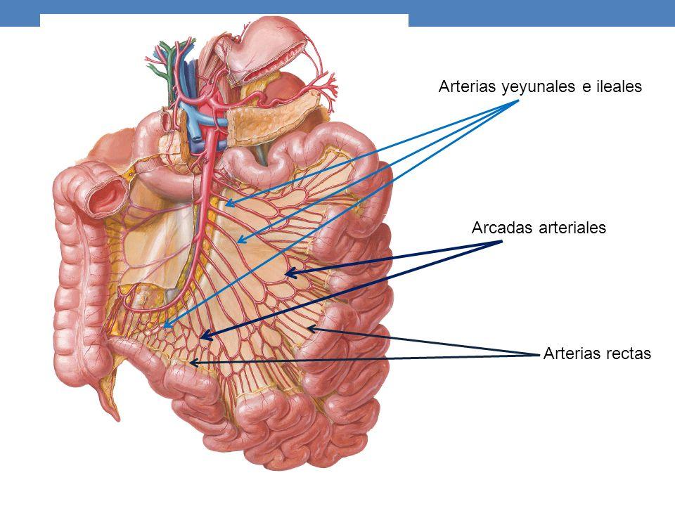 Arterias yeyunales e ileales