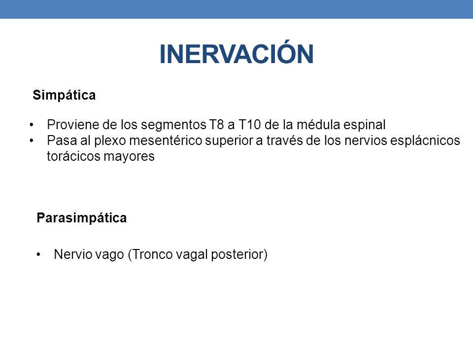 INERVACIÓN Simpática. Proviene de los segmentos T8 a T10 de la médula espinal.