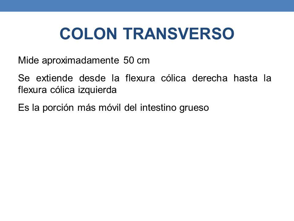 COLON TRANSVERSO Mide aproximadamente 50 cm