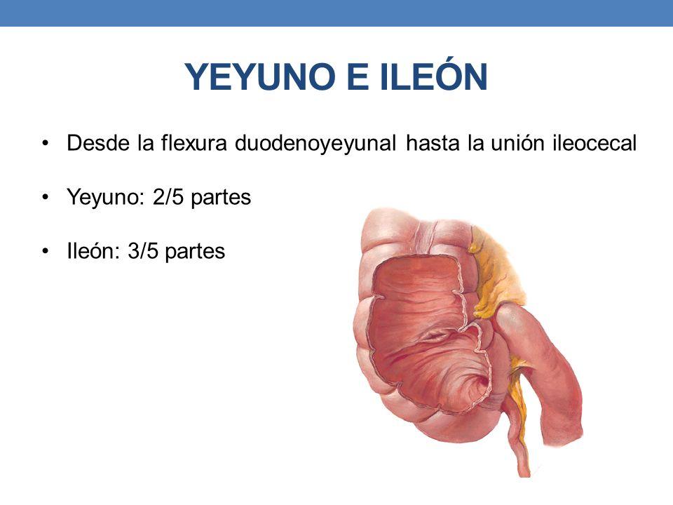 YEYUNO E ILEÓN Desde la flexura duodenoyeyunal hasta la unión ileocecal.