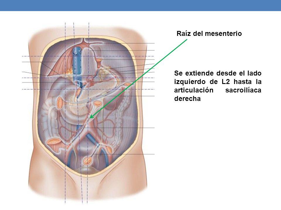 Raíz del mesenterio Se extiende desde el lado izquierdo de L2 hasta la articulación sacroilíaca derecha.