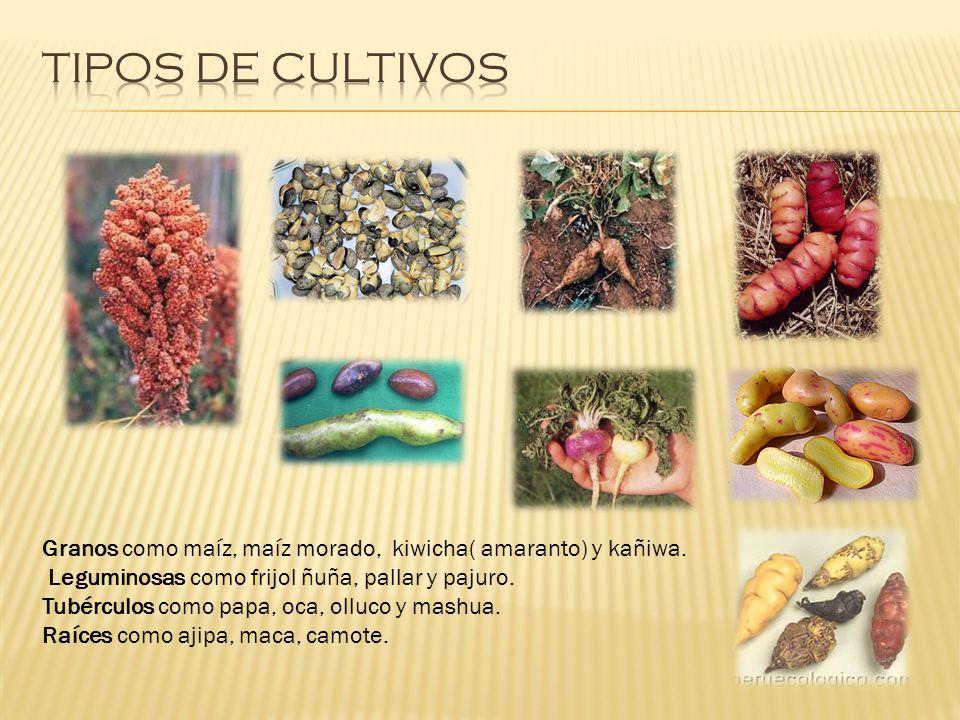 TIPOS DE CULTIVOS Granos como maíz, maíz morado, kiwicha( amaranto) y kañiwa. Leguminosas como frijol ñuña, pallar y pajuro.